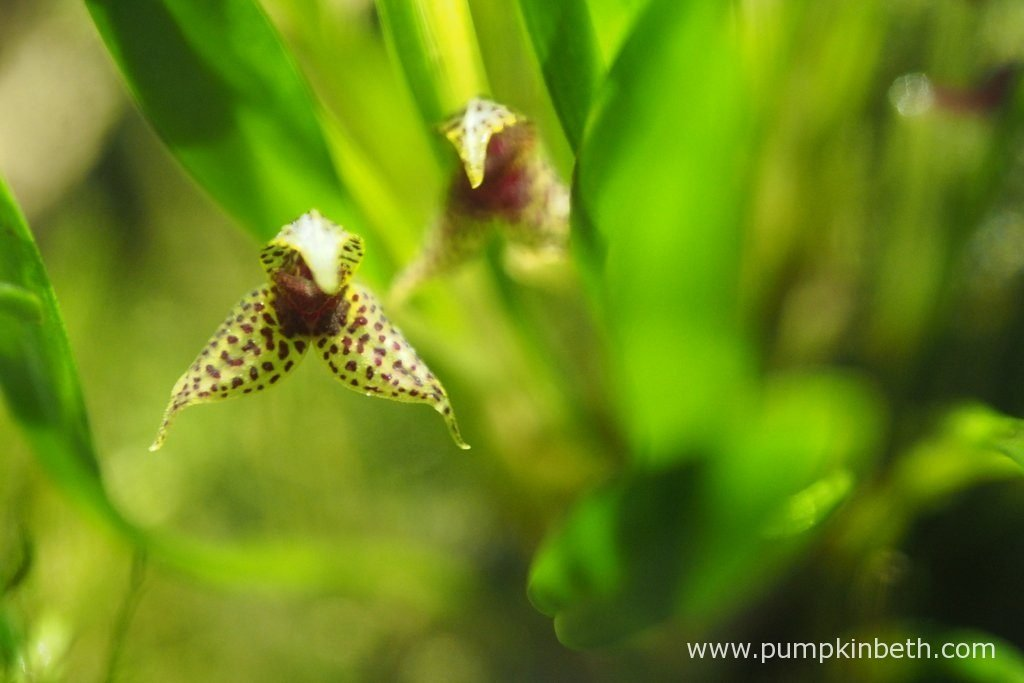 Dryadella simula, pictured in flower, inside my Miniature Orchid Trial BiOrbAir Terrarium, on the 6th November 2016.