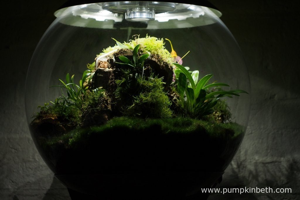 My Miniature Orchid Trial BiOrbAir Terrarium, as pictured on the 6th November 2016. Inside this terrarium, Masdevallis decumana, Dryadella simula, and Lepanthopsis astrophora 'Stalky', are all in flower.