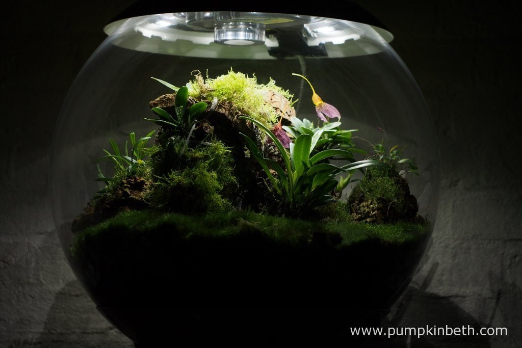 My Miniature Orchid Trial BiOrbAir Terrarium, as pictured on the 6th November 2016. Inside this terrarium, Masdevallia decumana, Dryadella simula, and Lepanthopsis astrophora 'Stalky', are all in flower.