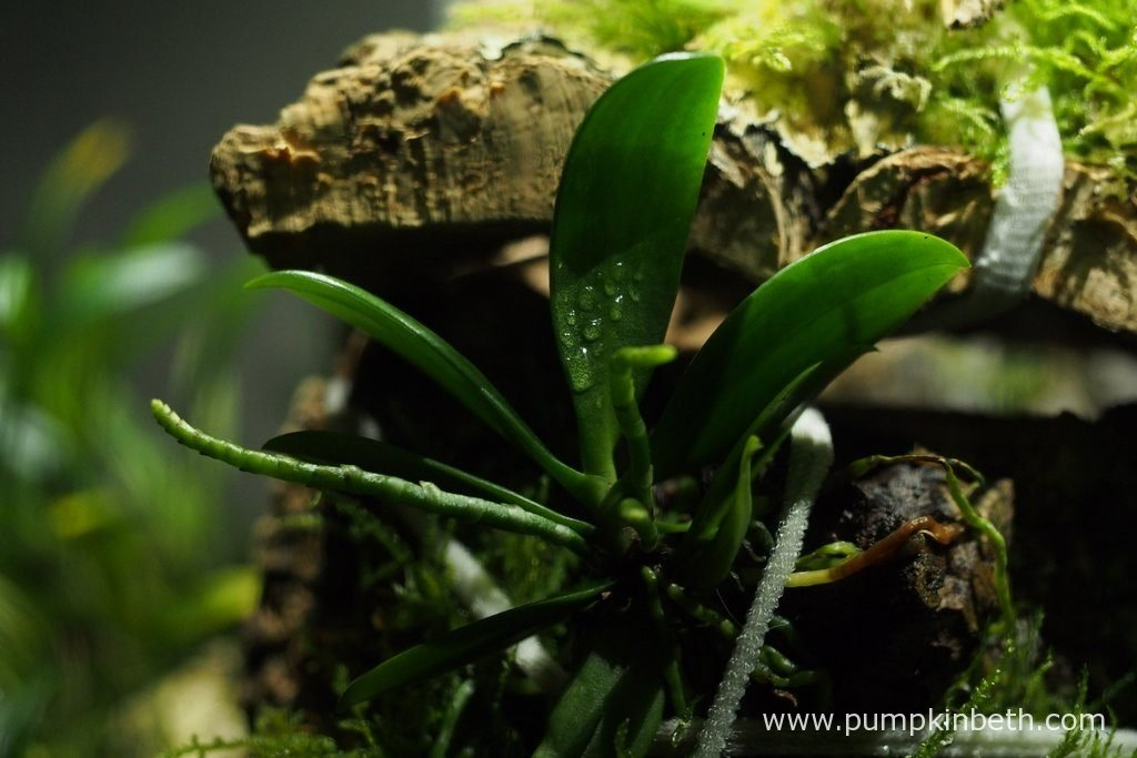 A closer look at Aerangis hyaloides pictured inside my Miniature Orchid Trial BiOrbAir Terrarium, on the 6th November 2016.