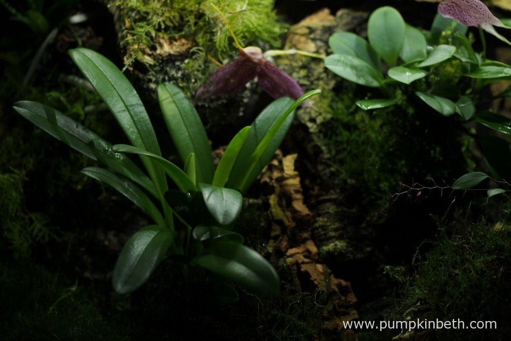 Masdevallia rechingeriana on the left hand side of the photograph, and Masdevallia decumana on the right hand side of the photograph. Pictured inside my Miniature Orchid Trial BiOrbAir Terrarium, on the 6th November 2016.