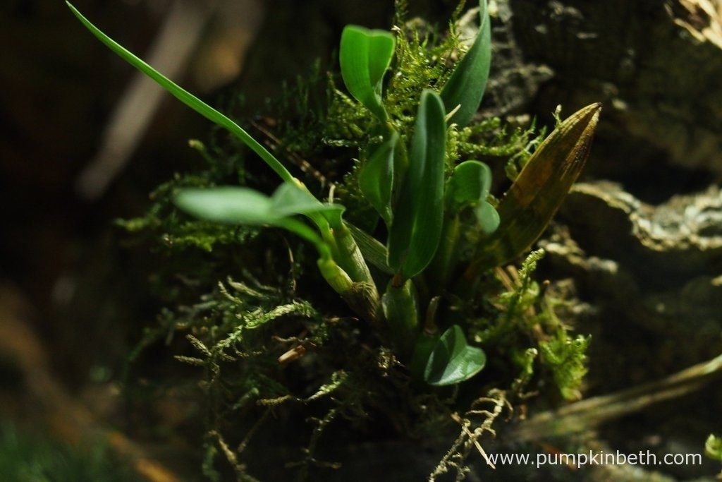 Diplocaulobium abbreviatum, as pictured on the 6th November 2016, inside my Miniature Orchid Trial BiOrbAir Terrarium. As you can see, there's an old, dead leaf on the right hand side of the picture, the leaf came away from the plant as I touched it.
