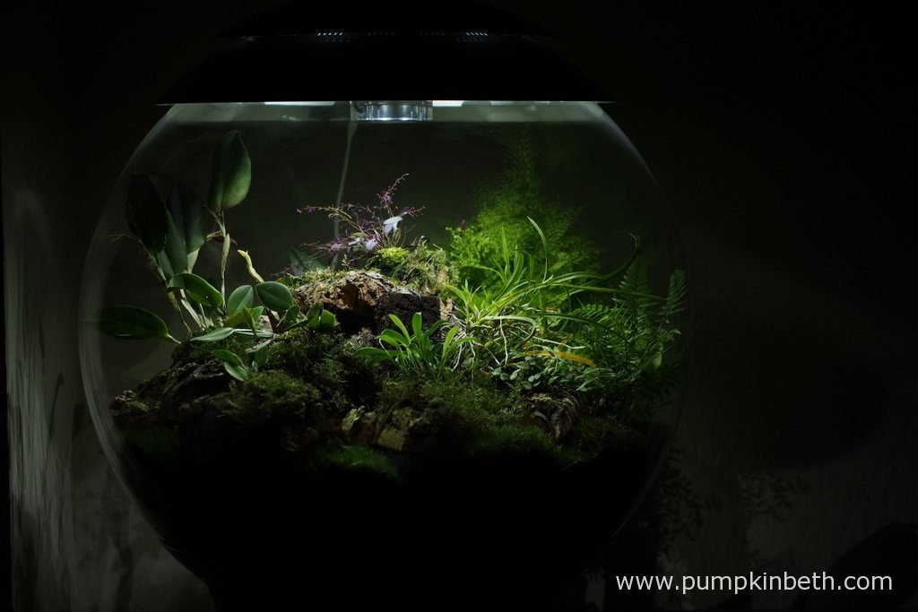My BiOrbAir terrarium, as pictured on the 6th November 2016. Inside this terrarium, Lepanthopsis astrophora 'Stalky', Restrepia purpurea 'Rayas Vino Tinto' and Restrepia sanguinea are in flower.