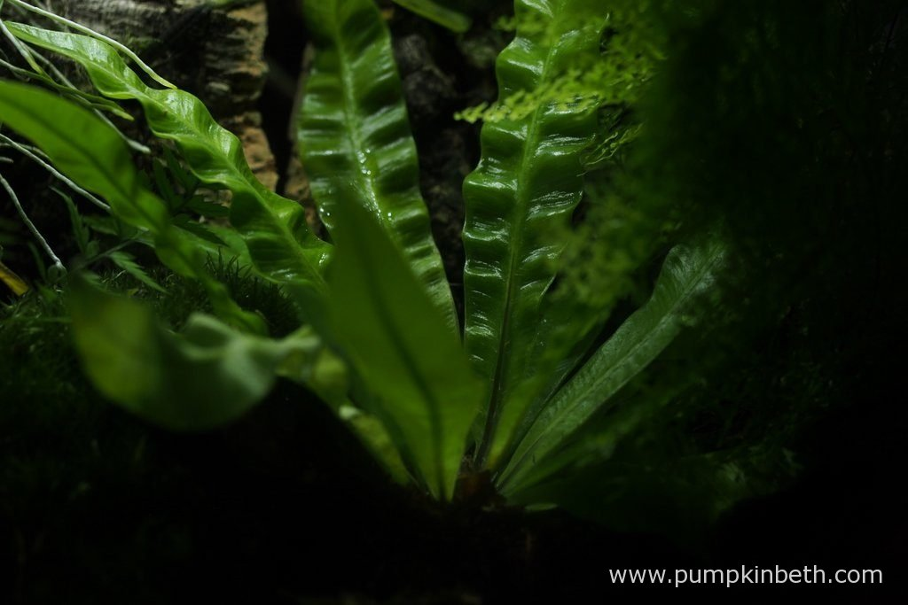 A closer look at Asplenium nidus 'Crispy Wave', the fronds that this fern produces improve with age, as they develop their characteristic wavy habit. Pictured on the 6th November 2016.