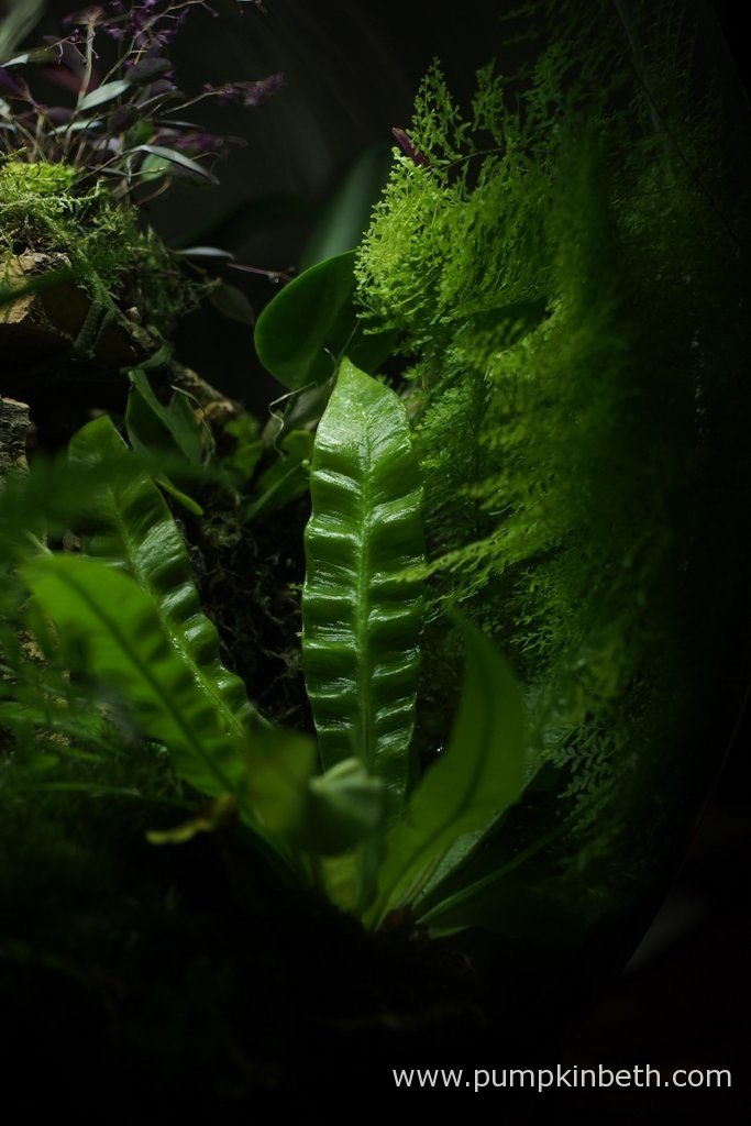 Nephrolepis exaltata 'Fluffy Ruffles' in the background, and Asplenium nidus 'Crispy Wave' in the foreground. Pictured inside my BiOrbAir terrarium, on the 6th November 2016.