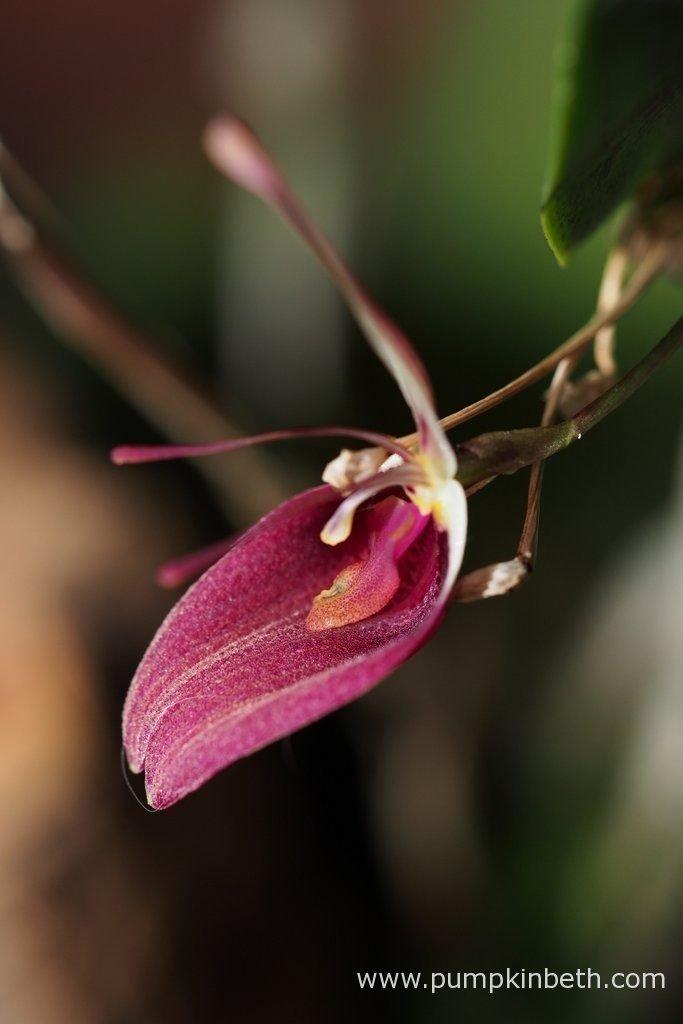 Restrepia sanguinea, in bloom, inside my BiOrbAir terrarium, on the 7th November 2016.