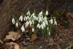 Buying Snowdrops in the Green
