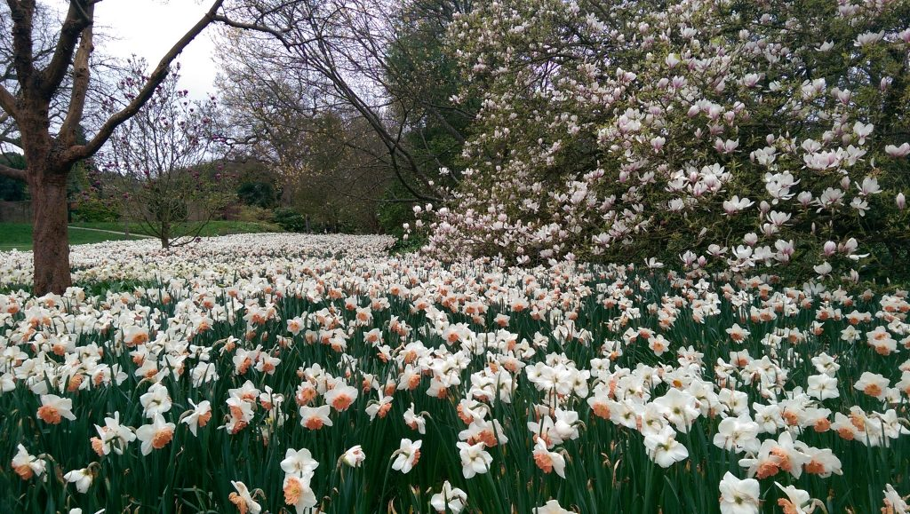 A sea of Daffodils at RHS Garden Wisley.