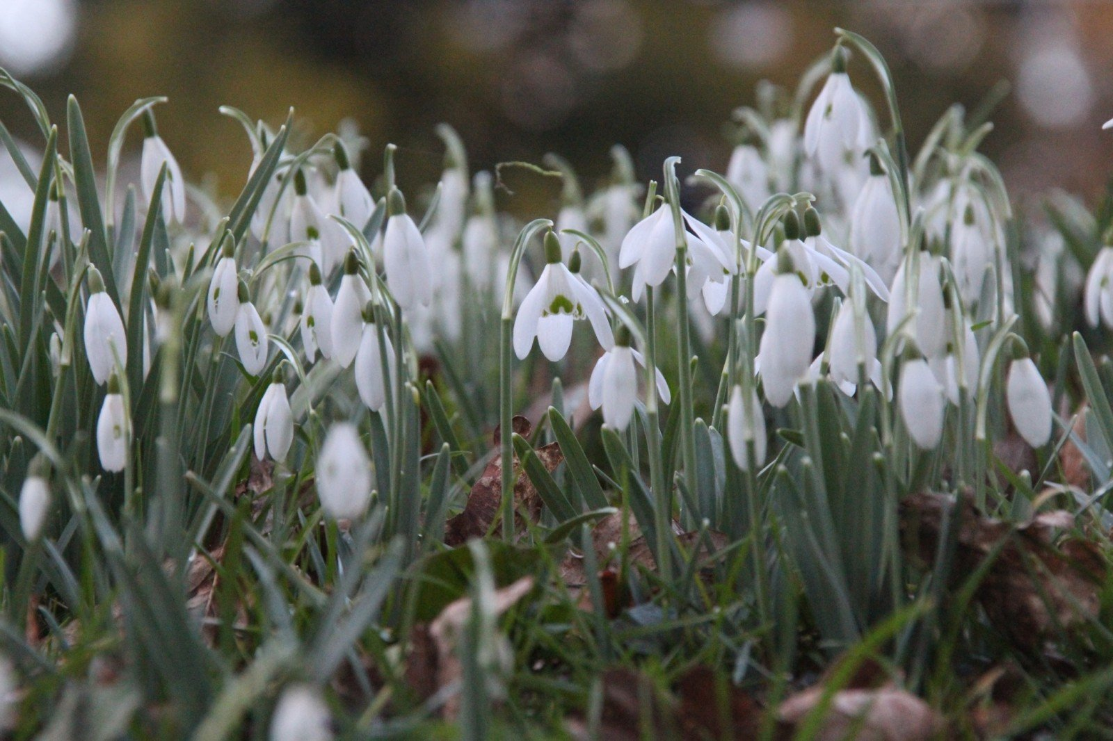 How to look snowdrops 1