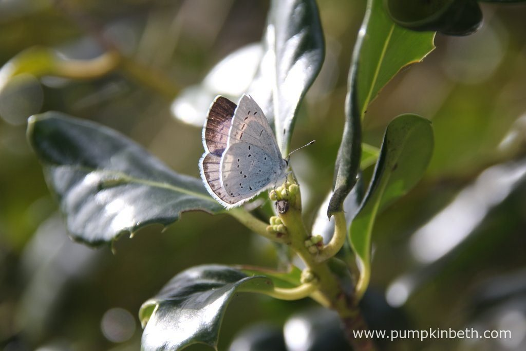 A Holly Blue Butterfly, also known by its scientific name of Celastrina argiolus, pictured resting on Ilex aquifolium 'JC Van Tol', a self-fertile female holly that readily produces bright red berries every winter, without the need for a male pollinator in the near vicinity.