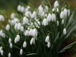 Special Snowdrop Gardens, Talks, Events, and Open Days for 2017