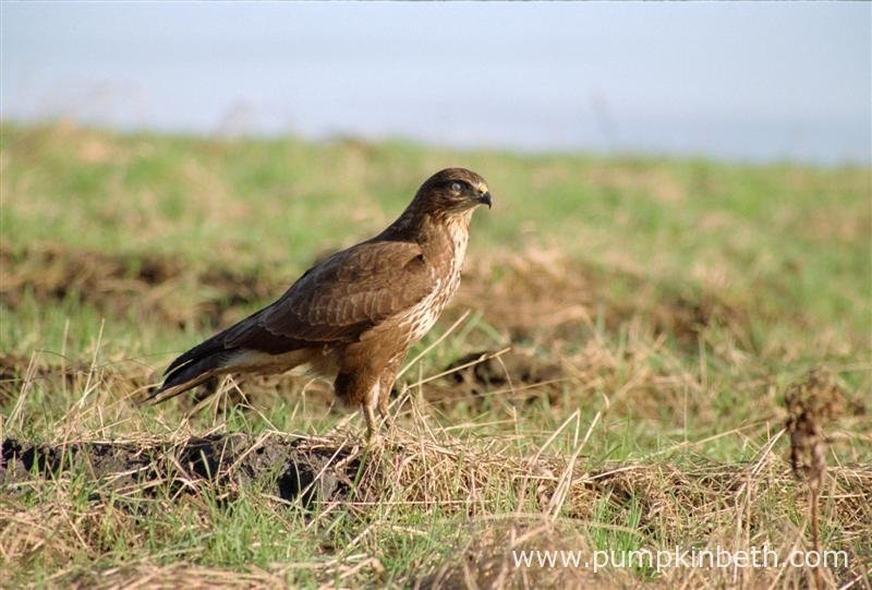 Buzzards, also known by their scientific name of Buteo buteo, are a commonly spotted bird of prey in Britain.