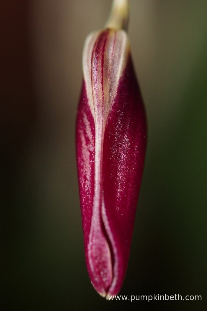 A closer look at a Restrepia sanguinea flower bud, as pictured on the 4th December 2016.