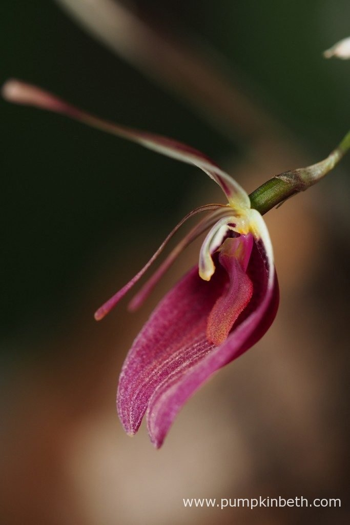A closer look at one of the four Restrepia sanguinea blooms that are currently open. Pictured on the 3rd December 2016.
