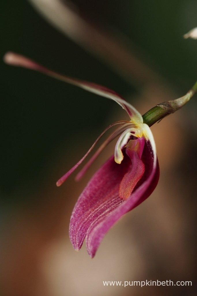 A closer look at one of the Restrepia sanguinea blooms. Pictured on the 3rd December 2016.