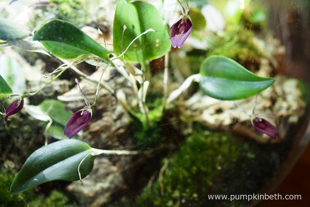 Restrepia sanguinea, as pictured on the 5th December 2016, inside my BiOrbAir terrarium.