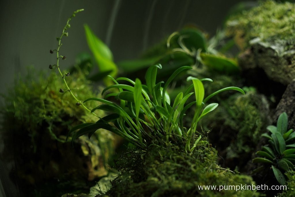 Stelis muscifera, as pictured on the 4th December 2016, inside my BiOrbAir terrarium.