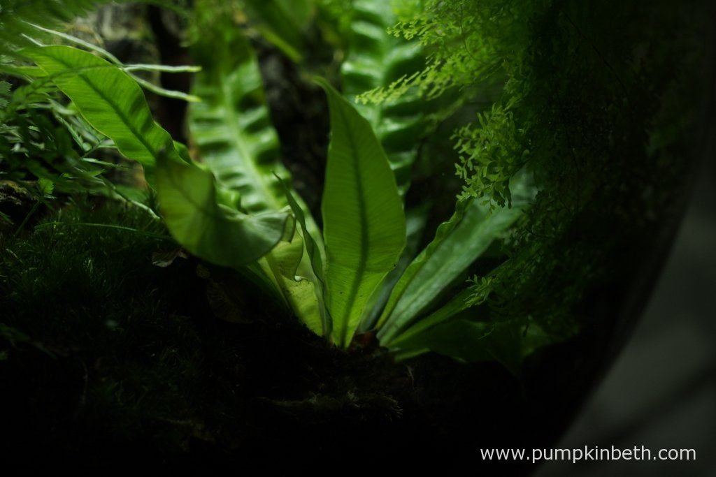 Asplenium nidus 'Crispy Wave', as pictured on the 4th December 2016, inside my BiOrbAir terrarium.