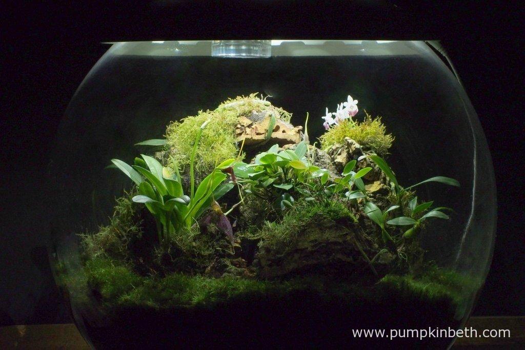 Biorbair Review Growing Miniature Orchids In The Biorbair Part Twelve Pumpkin Beth