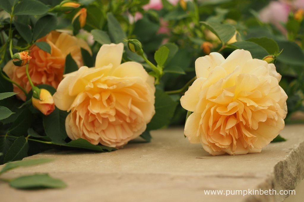 New Introductions From David Austin Roses For 2017 Pumpkin Beth