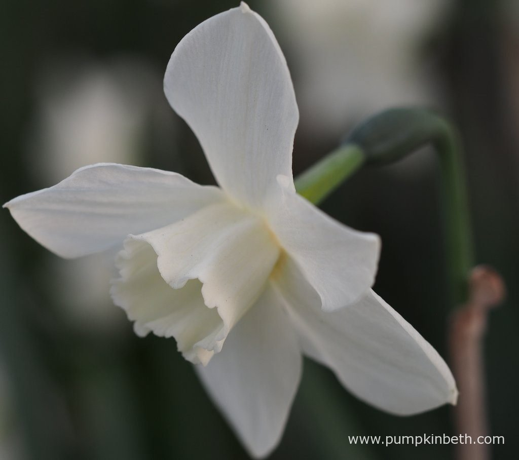 2017 scented daffodil trial pumpkin beth at this point in the flowers development the daffodil flowers have all turned a beautiful tone of white mightylinksfo