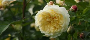 Elegantly perfumed roses to plant this winter