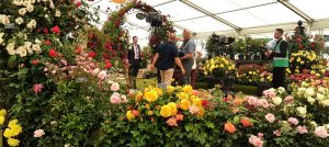 Rose of the Year at the RHS Hampton Court Palace Flower Show 2017