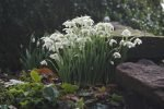 Special Snowdrop Gardens, Talks, Events, and Open Days for 2018