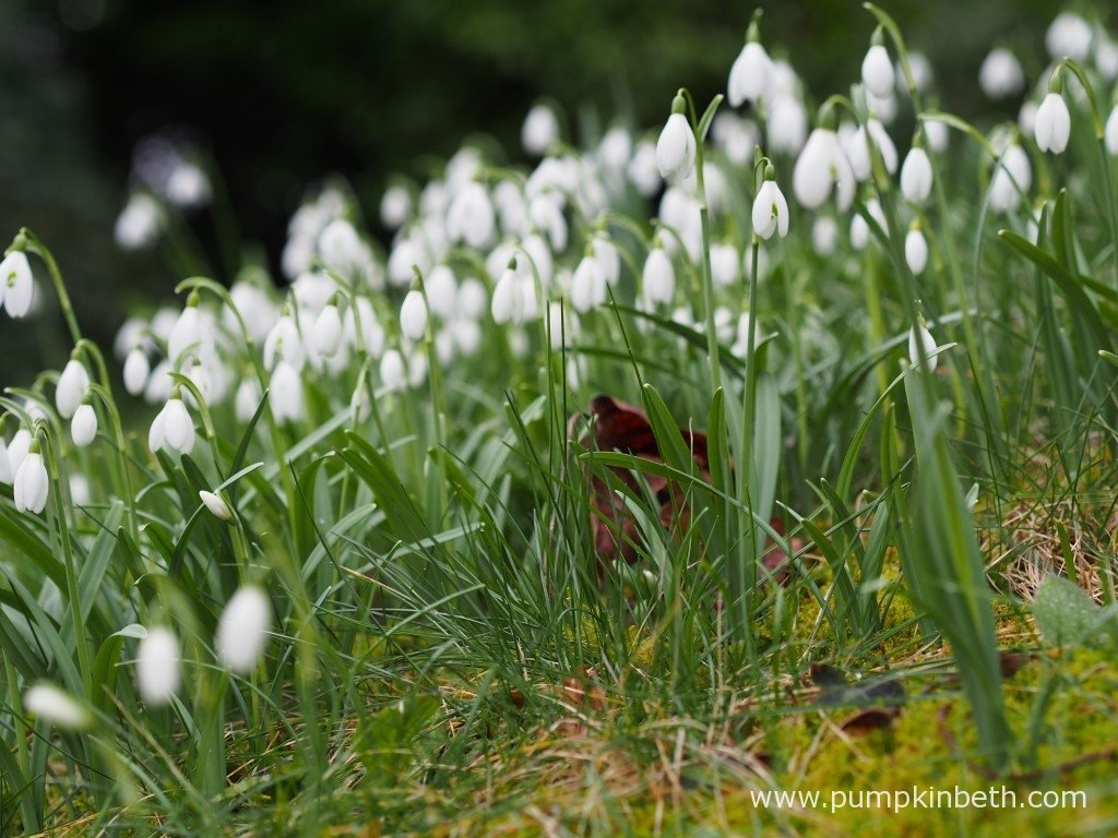 Special Snowdrop Gardens Talks Events And Open Days For 2018