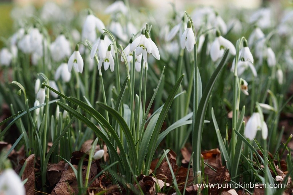 Special Snowdrop Gardens Talks Events And Open Days For 2019