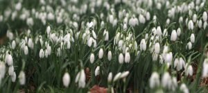 Special Snowdrop Gardens, Talks, Events, and Open Days for 2019