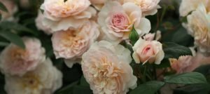 New Introductions from David Austin Roses for 2018