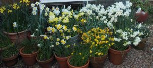 A Trial of Scented Daffodils for Containers