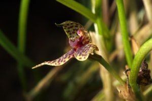 Floriferous epiphytic orchid species!