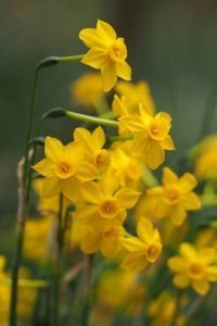 Frensham and Dockenfield Horticultural Society Online Spring Show