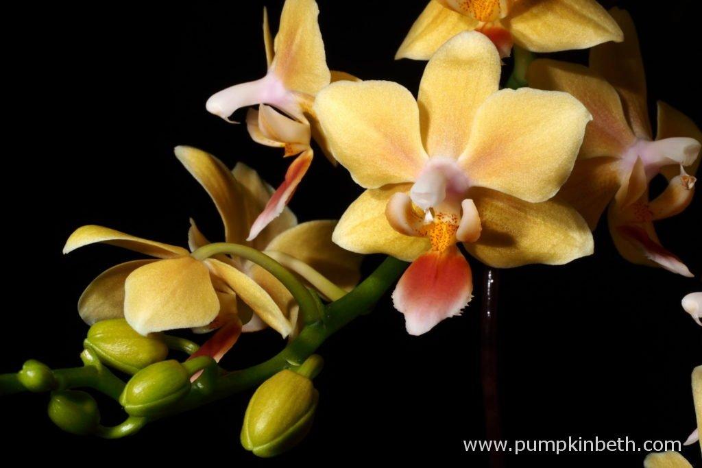 Fabulous Phalaenopsis Pumpkin Beth