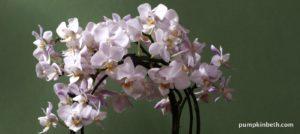 Fabulous Phalaenopsis!