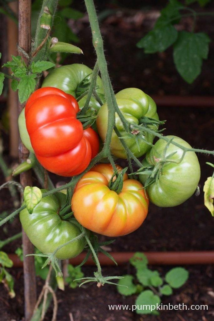 Trial of New Tomato Varieties - Pumpkin Beth