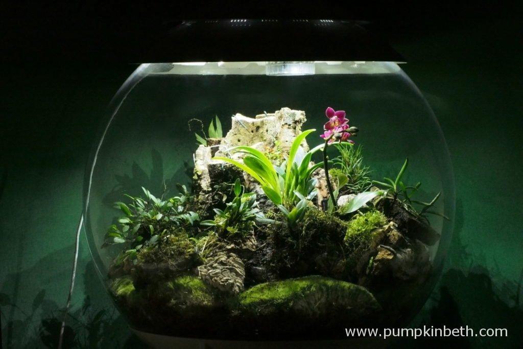 Biorbair Review Growing Miniature Orchids In The Biorbair Part Twenty One Pumpkin Beth