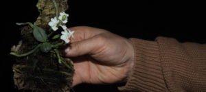 Phalaenopsis parishii and Phalaenopsis parishii alba – a super cute orchid species!