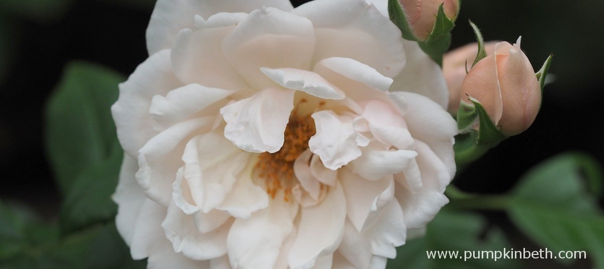 Delightfully Fragrant Roses to Plant this Winter