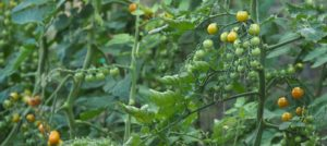 Growing Tomatoes in Dalefoot Composts' Peat Free Compost