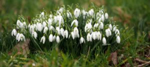 A Calendar of Special Snowdrop Garden Openings, Talks, Events & Open Days for 2020