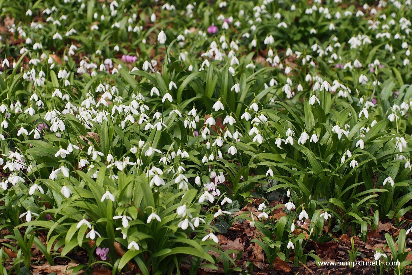 A Calendar Of Special Snowdrop Garden Openings Talks Events
