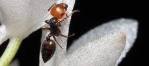 Acrobat ant update