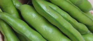 Compost Trial: Growing Broad Beans