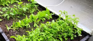 What am I growing inside my Vegepod?