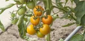 WIN seeds & the chance to name a brand-new blight-resistant tomato!