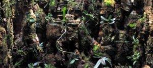An update on the Aerangis, Amesiella, and Angraecum orchids inside my Rainforest Terrarium (part two)