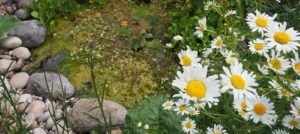 My Wildlife Pond in Spring & Early Summer